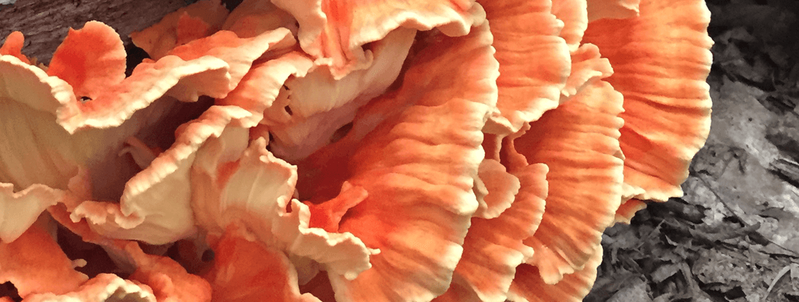 New York Nature: Chicken of the Woods