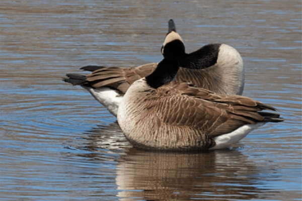 Canada Geese: A Closer Look